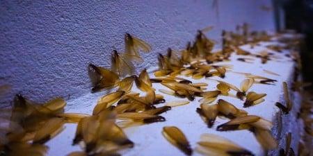 Harvester Termites johannesburg