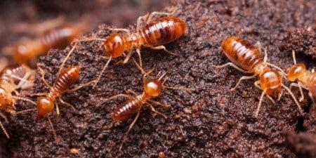 Subterranean Termites Johannesburg